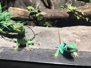 Chinese water dragons at St Andrews aquarium