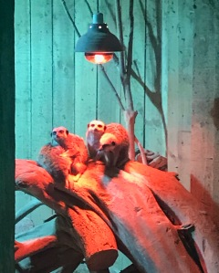 St Andrews Aquarium Meerkats